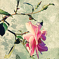My rose Print by Angela Doelling AD DESIGN Photo and PhotoArt