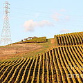 Napa Valley Vineyard . 7D9066 Poster by Wingsdomain Art and Photography