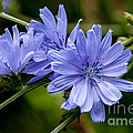 Natures Beautiful Blue Chicory Flowers Print by John Haldane