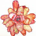 Neoregelia Small Wonder Poster by Penrith Goff