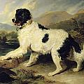 Newfoundland Dog Called Lion Poster by Sir Edwin Landseer