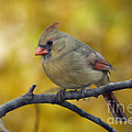 Northern Cardinal Female - D007849-1 Print by Daniel Dempster