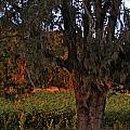 Oak Tree and Vineyards in Knight's Valley Poster by Charlene Mitchell