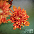 October Mums Print by Darren Fisher