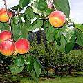 Okanagan Apricots Poster by Will Borden