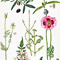 Opium Poppy and other plants  Print by  Elizabeth Rice
