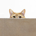 Orange Cat Peeping Out From Cardboard Box Print by Kevin Steele