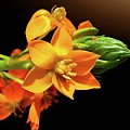 Orange Chincherinchee Print by Gitpix