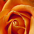 Orange Rose Close Up Print by Garry Gay