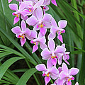 Orchids 15 Poster by Becky Lodes