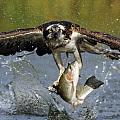 Osprey Catching Trout Poster by Scott  Linstead