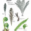 Ostrich Fern Study Book Page Poster by Betsy Gray