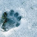 Otter Footprint In Snow Poster by Duncan Shaw
