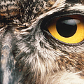 Owl Eye Print by Hans Halberstadt and Photo Researchers
