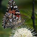 Painted Lady Butterfly DIN049 Print by Gerry Gantt