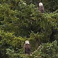 Pair of Bald Eagles Print by Darcy Michaelchuk