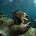 Pair Of Playful Sea Lions, La Paz Print by Todd Winner