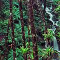 Palm Trunks and Waterfall El Yunque Poster by Thomas R Fletcher