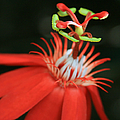 Passiflora vitifolia - Scarlet Red Passion Flower Poster by Sharon Mau