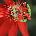 Passiflora vitifolia Scarlet Red Passion Flower Poster by Sharon Mau