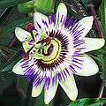 Passion Flower (passiflora Sp.) Print by Kaj R. Svensson
