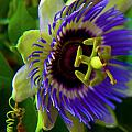 Passion-Fruit Flower Print by Betsy A  Cutler