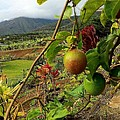 Passionfruit on the Vine with a View of the Valley   Maui Print by J R Stern