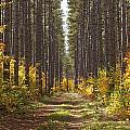 Path Into The Forest In Autumn Sault Poster by Susan Dykstra