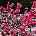 Peach Blossom Poster by Kaye Menner