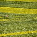 People In A Rapeseed Field Poster by David Evans