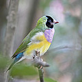 Perched Gouldian Finch Print by Glennis Siverson