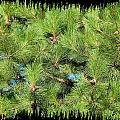 Pine Cones And Needles Print by Will Borden