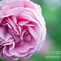 Pink Bourbon Rose LOUISE ODIER Print by Frank Tschakert