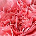 Pink Carnation Print by JD Grimes