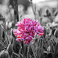 pink carnation by Sumit Mehndiratta