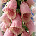 Pink Foxglove Poster by Lainie Wrightson