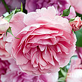 Pink Roses Print by Frank Tschakert