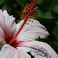 Pink Tropical Hibiscus Poster by Sharon Mau