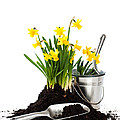Planting Daffodils Poster by Christopher and Amanda Elwell