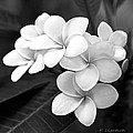 Plumeria - Black and White Poster by Kerri Ligatich