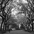Poets Walk In Central Park Print by Christopher Kirby