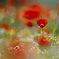 Poppies And Wildflowers In The Desert Print by Annie Griffiths