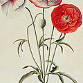 Poppies Corn Poster by Georg Dionysius Ehret