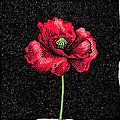 Poppy Flower, Woodcut Poster by Gary Hincks