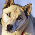 Portrait Of A Blue-eyed Husky Poster by Paul Nicklen