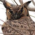 Portrait of a Great Horned Owl Poster by Wingsdomain Art and Photography
