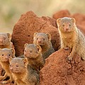 Portrait Of Seven Dwarf Mongooses Poster by Roy Toft