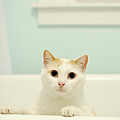 Portrait Of White Cat Print by Melissa Ross
