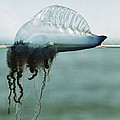 Portuguese Man-of-war Poster by Peter Scoones