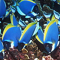 Powderblue Surgeonfish Poster by Georgette Douwma